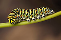 Swallowtail butterfly caterpillar {Papilo machaon}. Tirol, Austrian Alps.