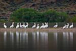 Pelicans, Columbia River, Oregon, USA