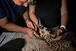 Black-footed Cat (Felis nigripes) biologists, Alex Sliwa and Beryl Wilson, measuring testicles during collaring, Benfontein Nature Reserve, South Africa