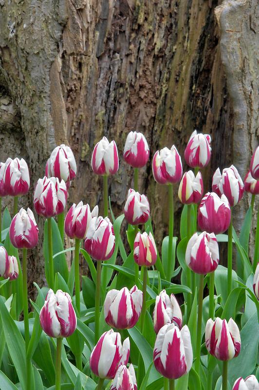 Zurei tulips and dead tree. Roozengaarde gardens. Mt. Vernon. Washington