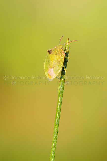 A Red-shouldered Stink Bug (Thyanta custator) clings to the tip of a plant stem.