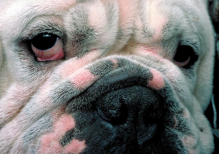 Close-up portrait of a bulldog
