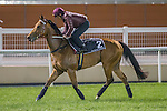 MEYDAN,DUBAI-MARCH 24: Not Listen' Tome,trained by John Moore,exercises in preparation for the Al Quoz Sprint at Meydan Racecourse on March 24,2016 in Meydan,Dubai (Photo by Kaz Ishida)