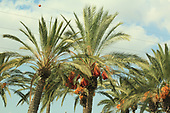 Date Palm Tree and Wallflower bush en route to Tel Aviv from airport.