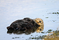 Southern sea otter or California sea otter Enhydra lutris nereis, male, sleeping, Monterey Bay National Marine Sanctuary, Monterey, California, USA, Pacific Ocean