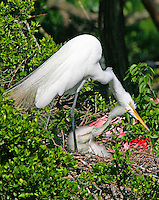 Great egret at nest with chick