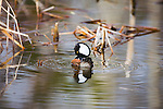 Hooded Merganser Drake in mating display on a Montana stream