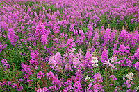 Fields of fireweed along the Dalton Highway, Alaska