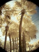 Palm grove, infrared vignette