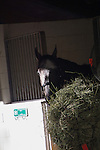 HALLANDALE BEACH, FL - JANUARY 25: Arrogate settles into his stall after morning gallop at Gulfstream Park. (Photo by Arron Haggart/Eclipse Sportswire/Getty Images