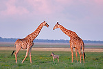 A zebra foal sandwiched between two towering giraffes by Anette Mossbacher