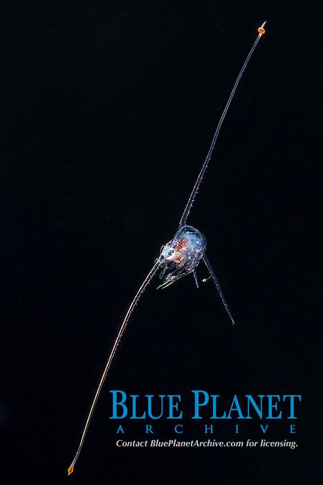 planktonic zoea larva of crab in deep offshore water at night, Kona Coast, Big Island, Hawaii, USA, Pacific Ocean