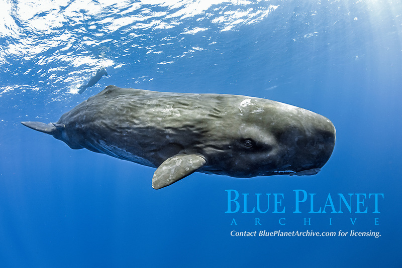 free diver swimming with a sperm whale, Physeter macrocephalus, The sperm whale is the largest of the toothed whales Sperm whales are known to dive as deep as 1,000 meters in search of squid to eat Image has been shot in Dominica, Caribbean Sea, Atlantic Ocean. Photo taken under permit #RP 16-02/32 FIS-5