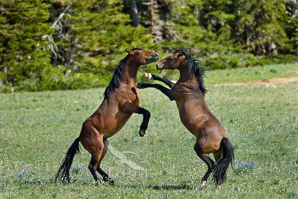 Wild Horse or feral horse (Equus ferus caballus) dominance behavior between stallions.  Western U.S., summer.
