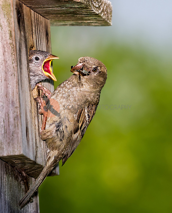 Female House Sparrow with bug in beak feeding young at birdhouse
