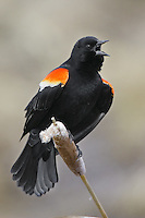 Red-winged Blackbird singing from a cattail