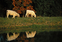 White cows walking along the edge of a pond