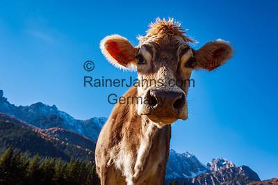 Italien, Venetien, Provinz Belluno, Auronzo di Cadore: Bergdorf in den Dolomiten, Kuh   Italy, Veneto, Province Belluno, Auronzo di Cadore: mountain village in the Dolomites, cow