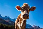 Italien, Venetien, Provinz Belluno, Auronzo di Cadore: Bergdorf in den Dolomiten, Kuh | Italy, Veneto, Province Belluno, Auronzo di Cadore: mountain village in the Dolomites, cow