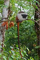 """Com o crescimento desordenado da cidade de Manaus nos últimos anos a floresta vem sendo derrubada de maneira descontrolada. Isso tem afetado gravemente as populações do sauim-de-coleira, único representante da família Callitrichidae (que compreende micos, sagüis e sauins) encontrado nos fragmentos florestais urbanos da cidade.<br /> Além de ser ameaçado pelo homem, o sauim-de-coleira também sofre ameaças do sauim-de-mãos-douradas (Saguinus midas), um outro calitriquídeo presente nas áreas de entorno da cidade de Manaus. Nesta possível relação de exclusão competitiva, S. bicolor estaria perdendo áreas de florestas para S. midas e sendo """"empurrado"""" gradualmente em direção às florestas secundárias da área urbana de Manaus. <br /> Por causa da competição entre as duas espécies, o sauim-de-coleira está cada vez mais confinado à cidade, aumentando assim a responsabilidade dos habitantes da cidade quanto à sobrevivência da espécie (GORDO, 2008).<br /> Manaus, Amazonas, Brasil.<br /> Foto Marcelo Gordo<br /> 07/09/2010"""