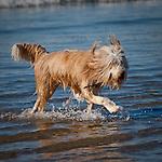 Wheaten Terrier, Central Coast, California