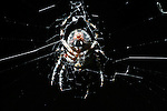 Furrow Spider at Night in web