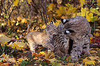 Bobcat (Lynx rufus)--mother with young kitten.  Western U.S., fall.