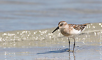 The western sandpiper was a common sight on many of the beaches we visited.