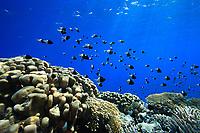 half and half chromis, Chromis iomelas, Red Sea, Egypt