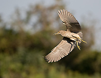 We saw a number of juvenile night herons flying about in the Pantanal.