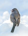 Junco- sparrow type in winter snow.