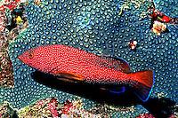 Peixe Piraúno (Cephalopholis fulva) em Fernando de Noronha, PE. Foto de Maristela Colucci.