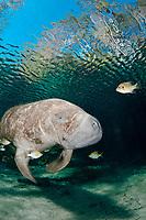 Florida manatee, Trichechus manatus latirostris latirostris, a subspecies of West Indian manatee, Trichechus manatus, followed by cleaning fish, bluegills, Lepomis macrochirus, Three Sisters Springs, Crystal River, Florida, USA