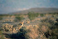 Coyote (Canis latrans) in Death Valley National Park, California, CA, USA - North American Wild Animal
