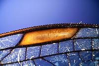 Flügel einer Libelle, Flügelgeäder, Flügeladerung, mit Flügelfeld, Flügelmal, Pterostigma, Blaugrüne Mosaikjungfer, Blaugrüne-Mosaikjungfer, Aeshna cyanea, Aeschna cyanea, blue-green darner, southern aeshna, southern hawker
