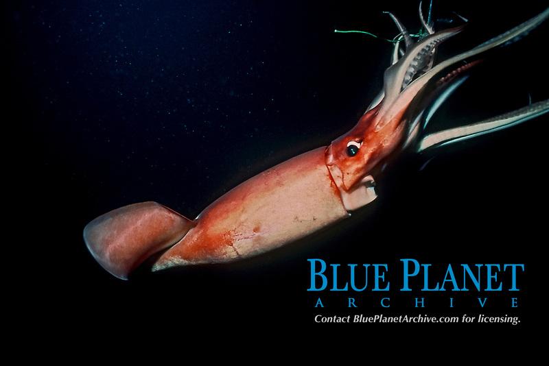 Humboldt squid, jumbo squid, jumbo flying squid, pota, diablo rojo, Dosidicus gigas , feeding on baitfish at night, Baja California, Mexico, Gulf of California, Sea of Cortez, Pacific Ocean