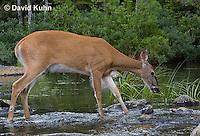0623-1027  Northern (Woodland) White-tailed Deer Drinking Water, Odocoileus virginianus borealis  © David Kuhn/Dwight Kuhn Photography