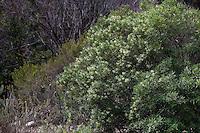 Ornithostaphylos oppositifolia: Baja Birdbush or Palo Blanco, California native shrub flowering in garden