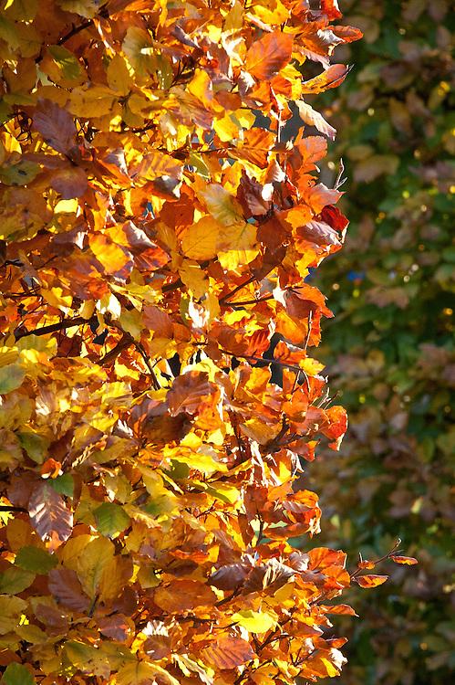 Autumn foliage of clipped beech (Fagus sylvatica), early November.