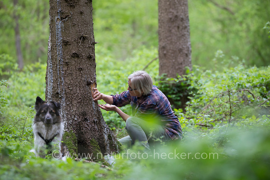 Fichtenharz, Fichten-Harz, Baumharz, Harz, Harzernte, Harz sammeln, Harzernte, liquid pitch, tree gum, galipot, gallipot. Gewöhnliche Fichte, Rot-Fichte, Rotfichte, Picea abies, Common Spruce, Norway spruce, L'Épicéa, Épicéa commun