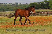 Bob, ANIMALS, REALISTISCHE TIERE, ANIMALES REALISTICOS, horses, photos+++++,GBLA4389,#a#, EVERYDAY