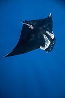 giant oceanic Chevron manta ray, Mobula birostris, formerly Manta birostris, with remora, Echeneida sp., in the Revillagigedo Islands, Pacific Ocean
