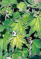 Foliage of Heuchera villosa Autumn Bride