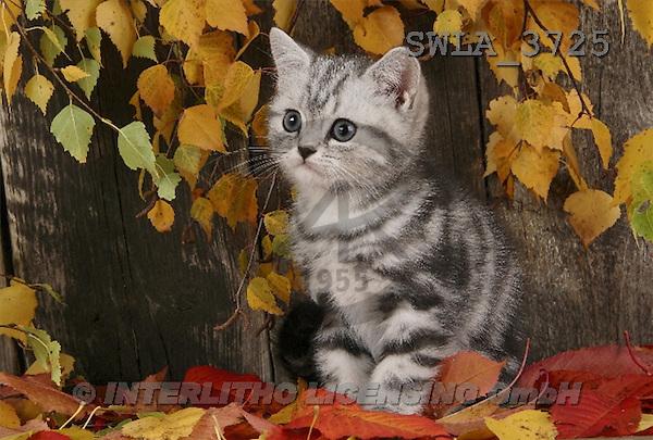 Carl, ANIMALS, photos(SWLA3725,#A#) Katzen, gatos