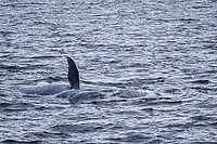 blue whale, Balaenoptera musculus, adult, surface lunge-feeding near the continental shelf on the west coast of Spitsbergen, Svalbard, Norway
