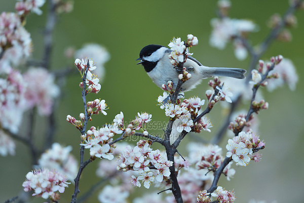 Carolina Chickadee (Poecile carolinensis), adult perched on blooming Mexican Plum (Prunus mexicana), Hill Country, Central Texas, USA