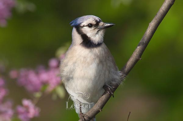 Blue Jay (Cyanocitta cristata) Great Lakes Region. Sping..