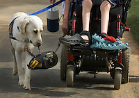 Helper assistant dog carries baseball glove after a baseball game for child confined to wheelchair