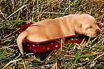 Newborn pup falls asleep in a little puupy sized wagon