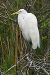 USA, FL, Everglades NP, Great Egret (Casmerodius albus)
